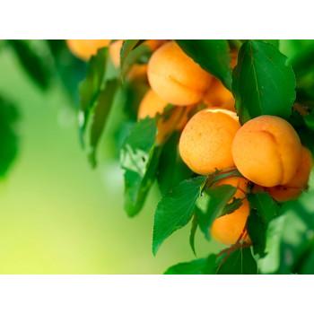 Как вырастить саженцы абрикосового дерева ?