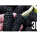 Шелковица черная среднерослая Крупноплодная