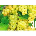 Виноград Мускат