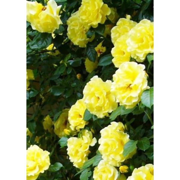 Роза плетистая Казино