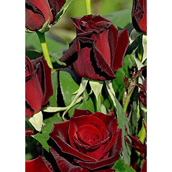Роза чайно-гибридная Poзa Баркароле