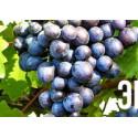 Виноград Сканворд