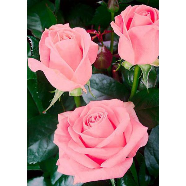 Роза чайно-гибридная Сусанна