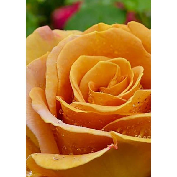 Роза чайно-гибридная Терракота