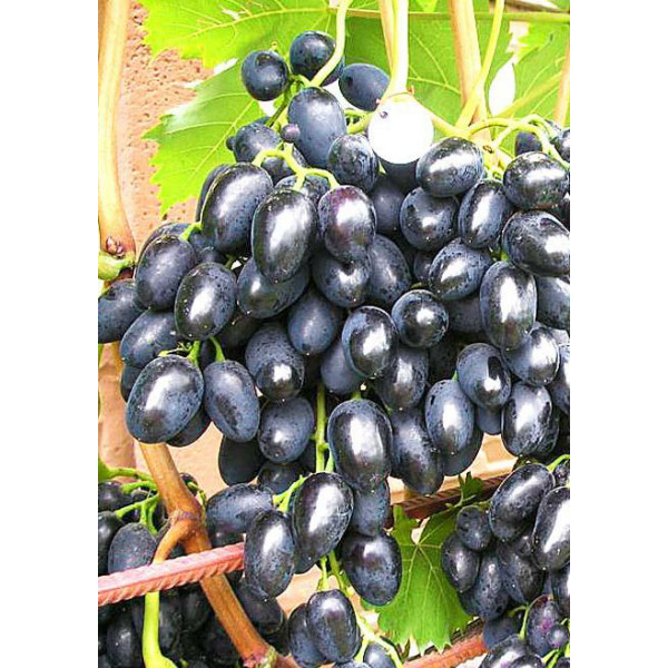 Виноград Велико