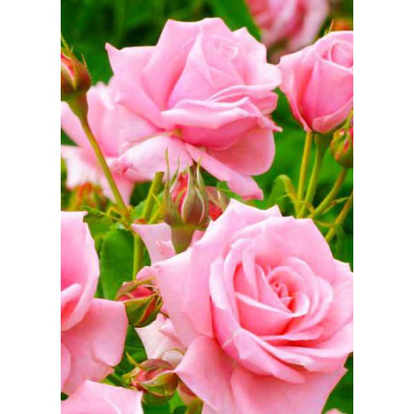 Роза чайно-гибридная Дамский каприз